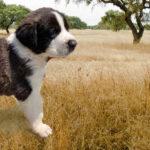 Rafeiro pup